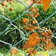 フェンス:ヘクソカズラの実-秋の終わり