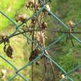 フェンス:アサガオの種-冬の始まり