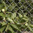 フェンス:柿の実-夏