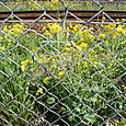 フェンス:菜の花