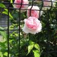 フェンス:バラの花,ヤマブキの葉