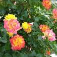 色変わりのバラ(チャールストン?)