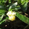 茶の花のアリとハチ
