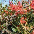 梅と山茶花の間に南天の実
