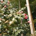 松花堂(八幡市)の侘助椿と黄金竹