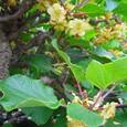 キウィフルーツの花