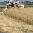大麦(裸麦)の収穫
