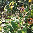 ホトトギスに柿の枝