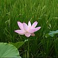 稲と蓮の花