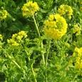 寒咲き菜の花