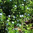 青いオオイヌノフグリとまだ蕾のホトケノザ